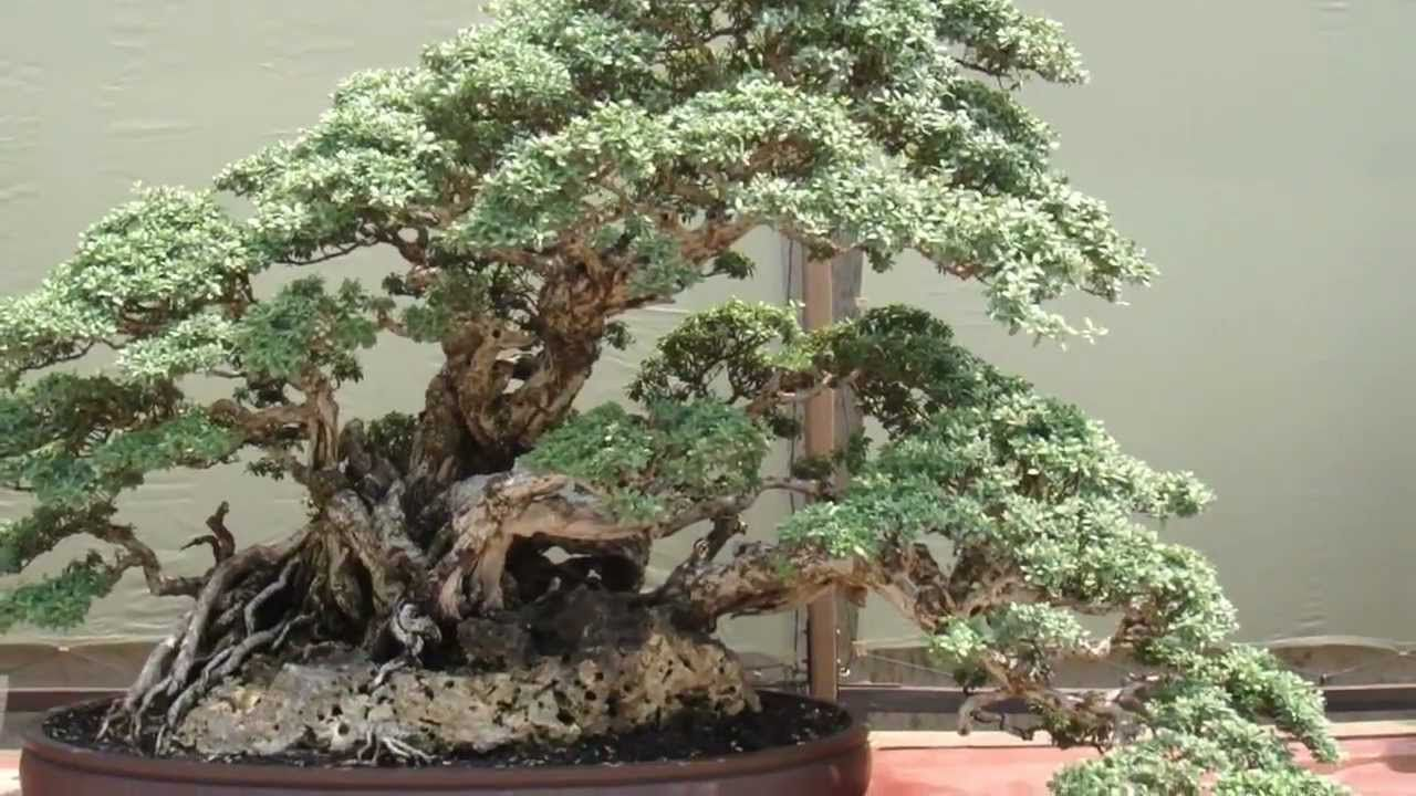 Indonesian Bonsai Exhibition Pinterest Wiring Schefflera