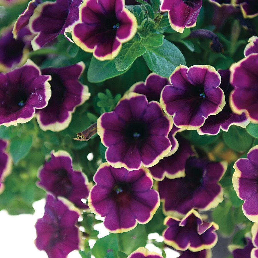 Petunia Surprise Moonlight Bay Pack Of 3 Petunias Flower Pots Annual Plants