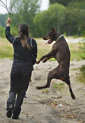 How To Turn Any Dog Into A Detection Dog Dog Training Training