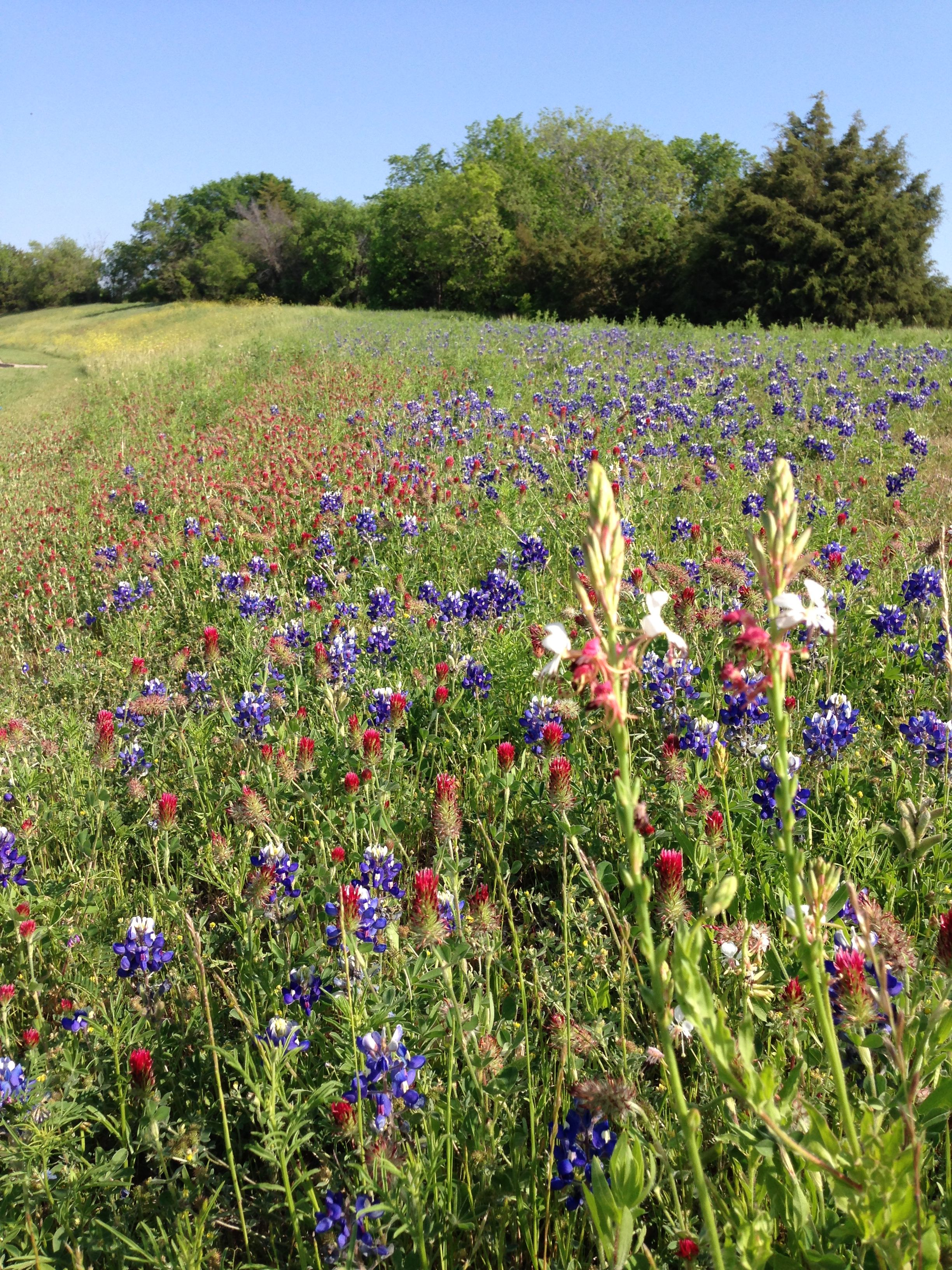 A field of and Red Clover. Texas Wildflowers