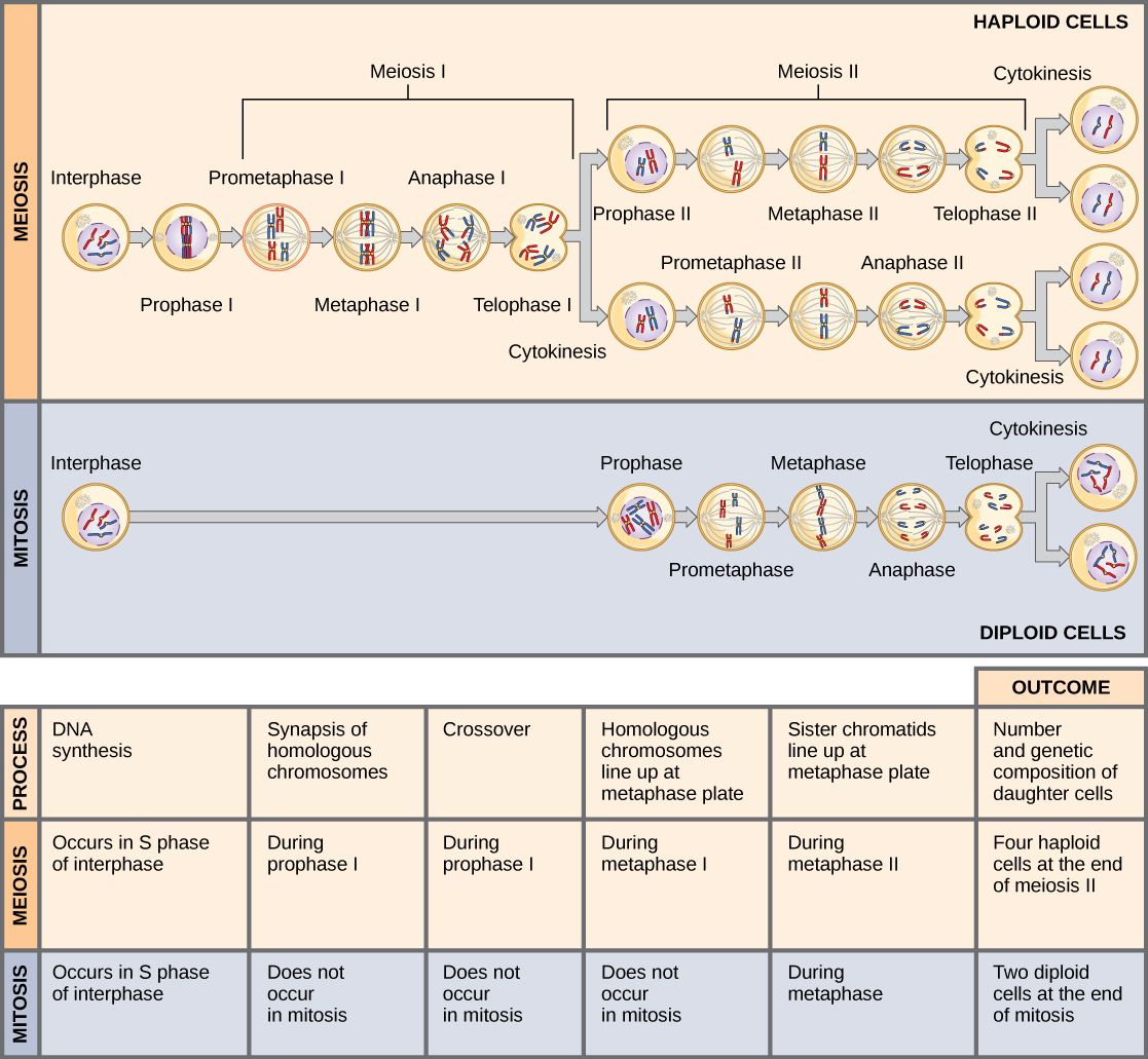 mitosis and meiosis compare and contrast chart - Google Search ...