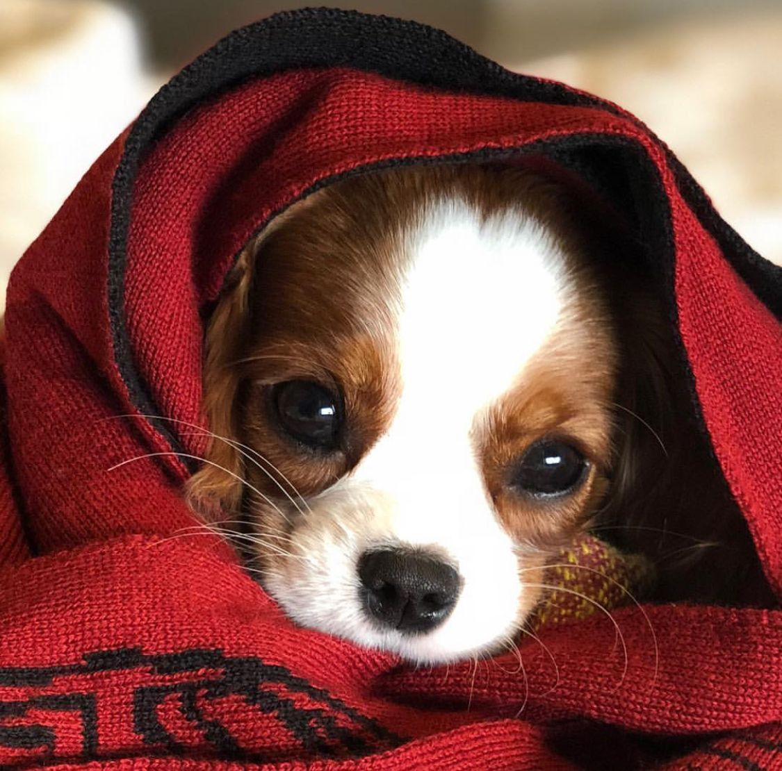 Pin by damien komala on cavaliers pinterest dogs animals and