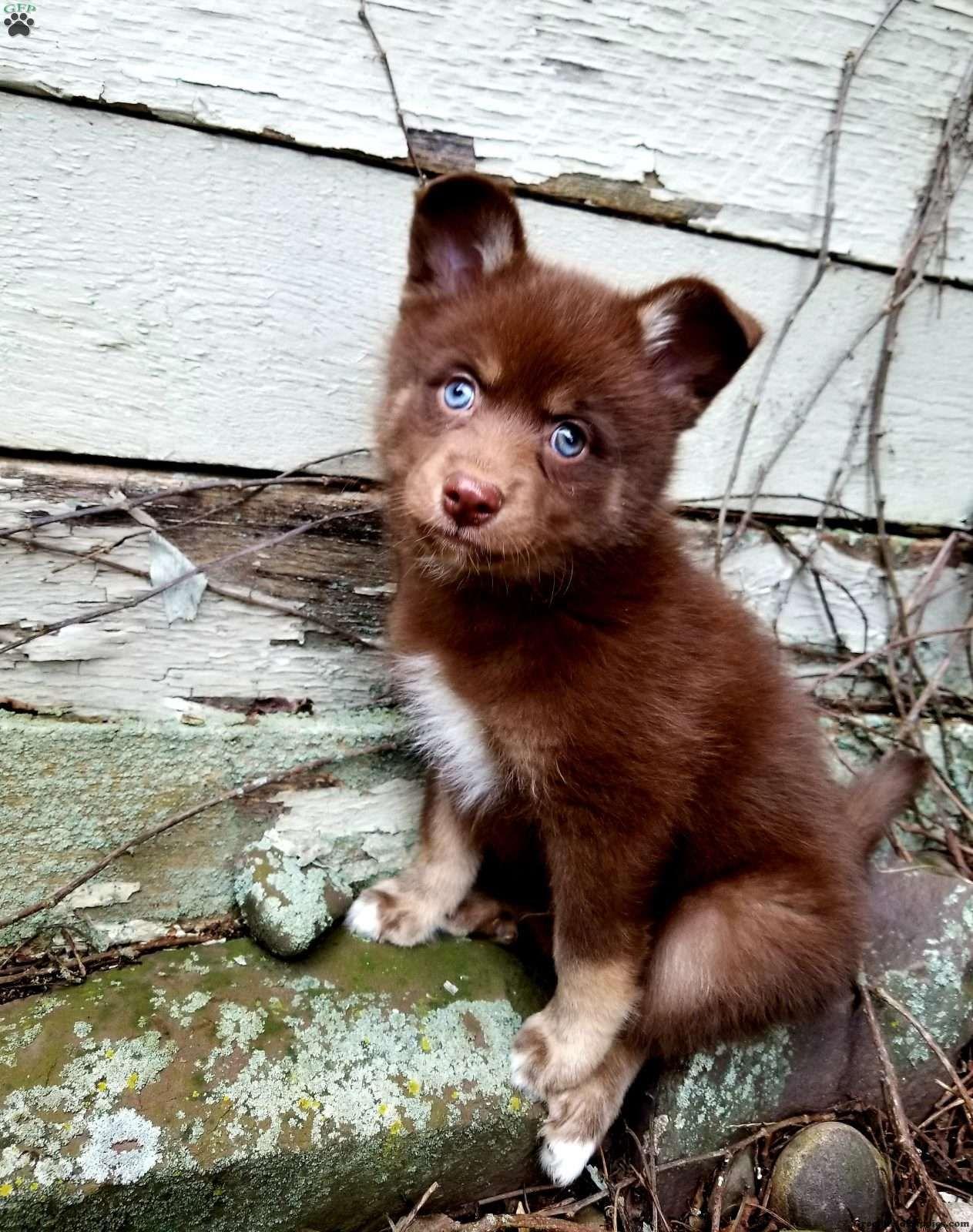 Xander Pomsky Puppy For Sale in Pennsylvania Pomsky
