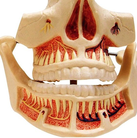 Adult Dentures - Lower Jaw Movable: Tooth roots, spongiosa, vessels ...