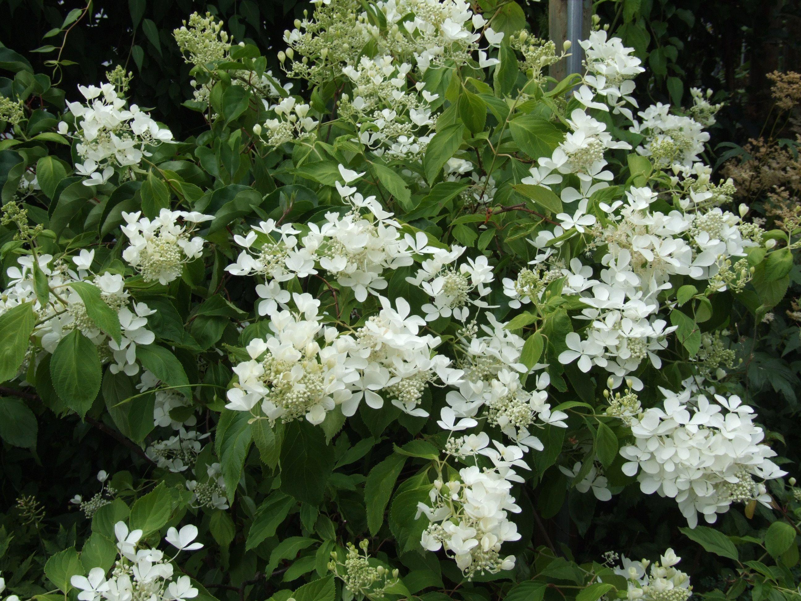 hydrangea paniculata u0027the swanu0027 shrubs - White Hydrangea