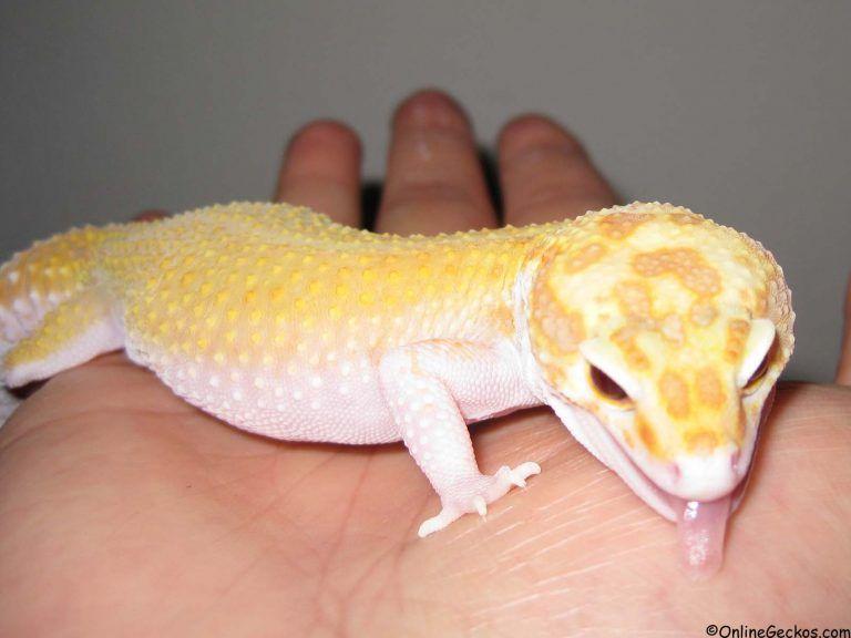 Best Reptile Pets For Handling Beginner Pet Lizards Leopard Gecko As Pets Onlinegeckos Com Gecko Breeder Pet Lizards Reptiles Pet Leopard Gecko