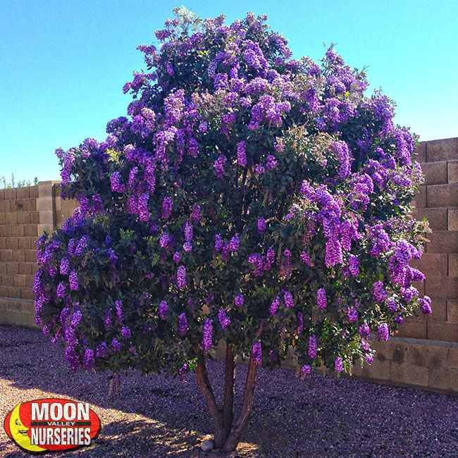 Trees Desert Trees Texas Mountain Laurel Moon Valley