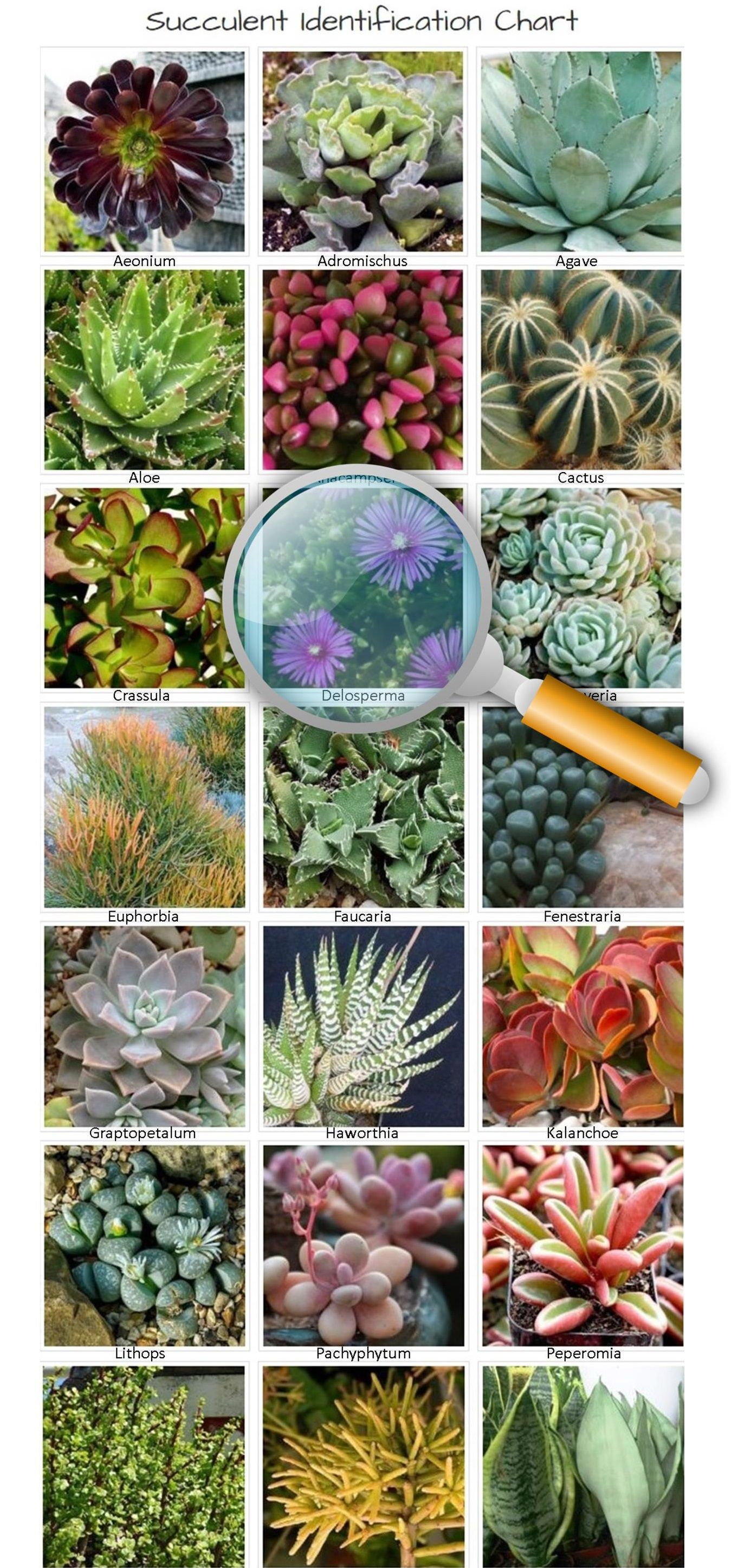 Identifying Types Of Succulents With Pictures The Succulent Eclectic Types Of Succulents Identifying Succulents Succulents