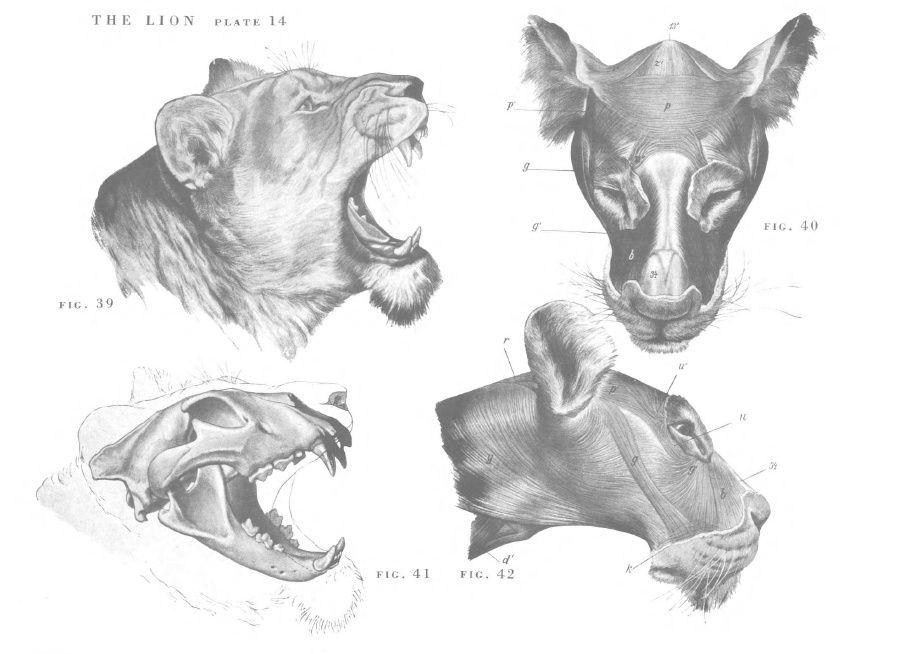 Magnificent Male Lion Anatomy Gift - Anatomy Ideas - yunoki.info