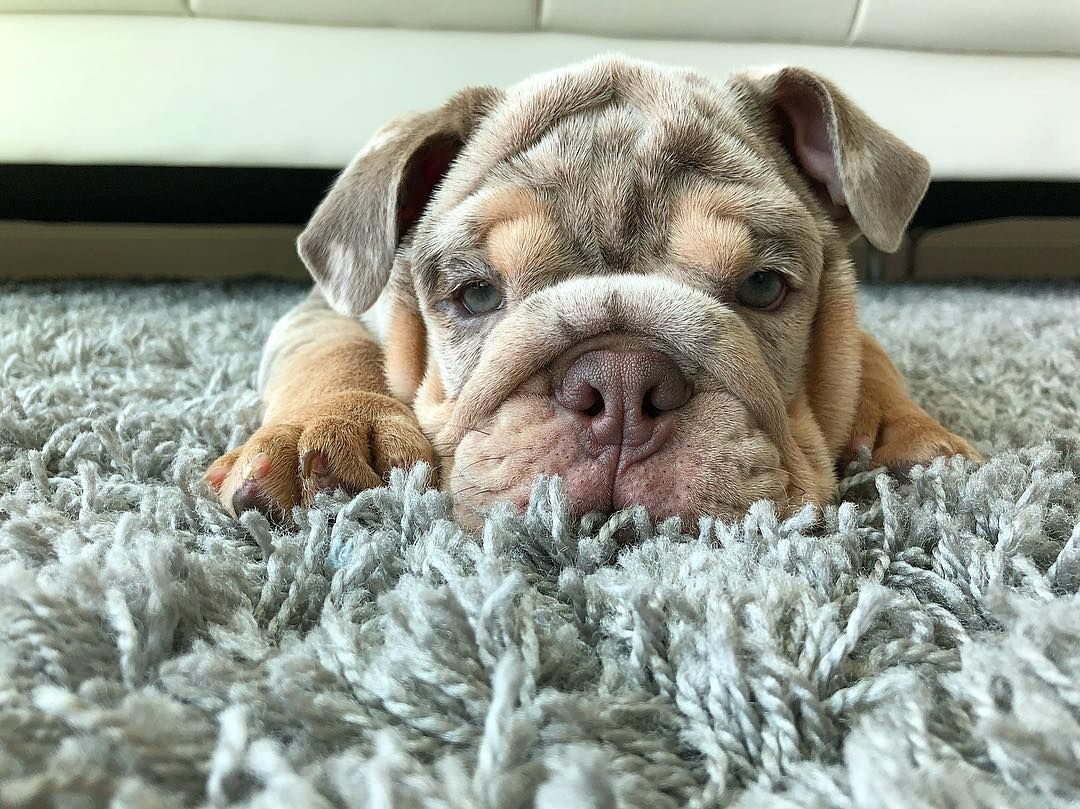 Dream Bulldogs On Instagram Hiro S Relaxing Today In Order To