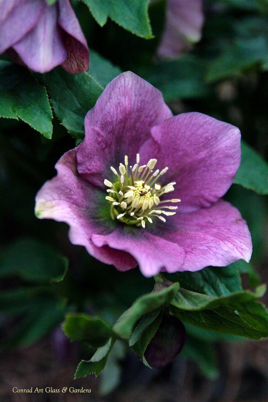 Hellebore Beautiful Flowers Plants Purple Flowers Garden