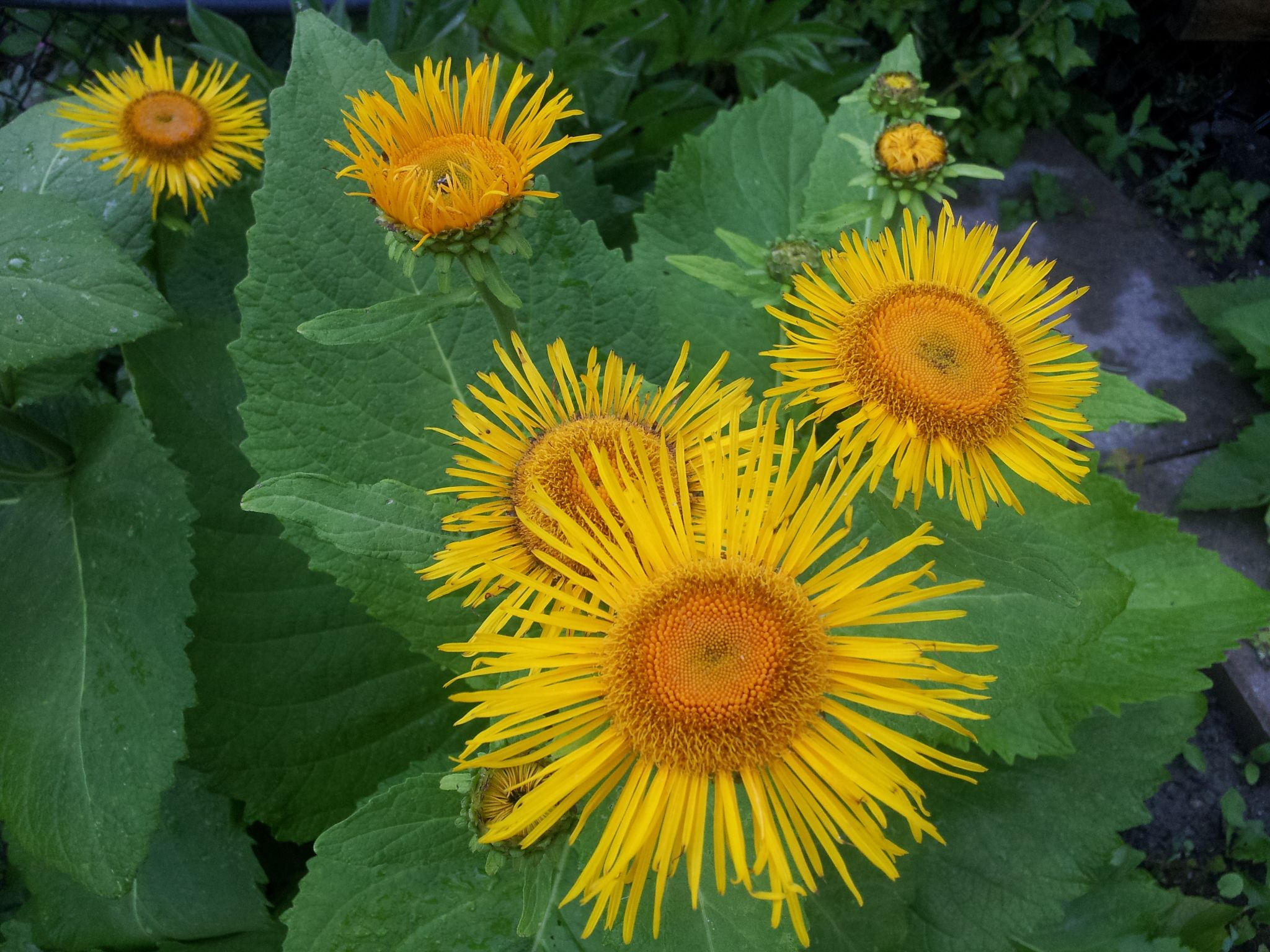 Special In My Garden Inula Helenium Inula Helenium A Strong Growing