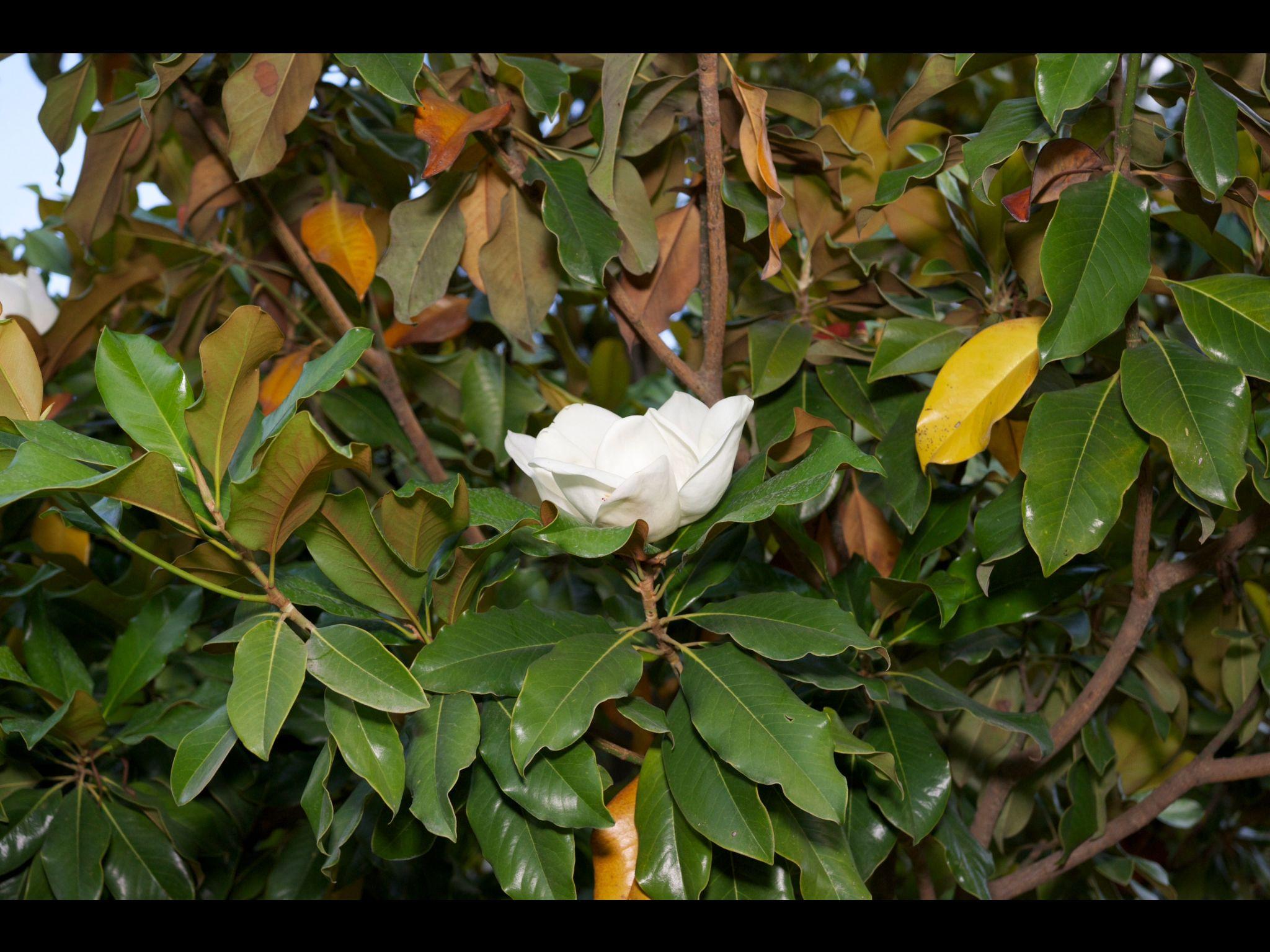 Магнолия magnolia