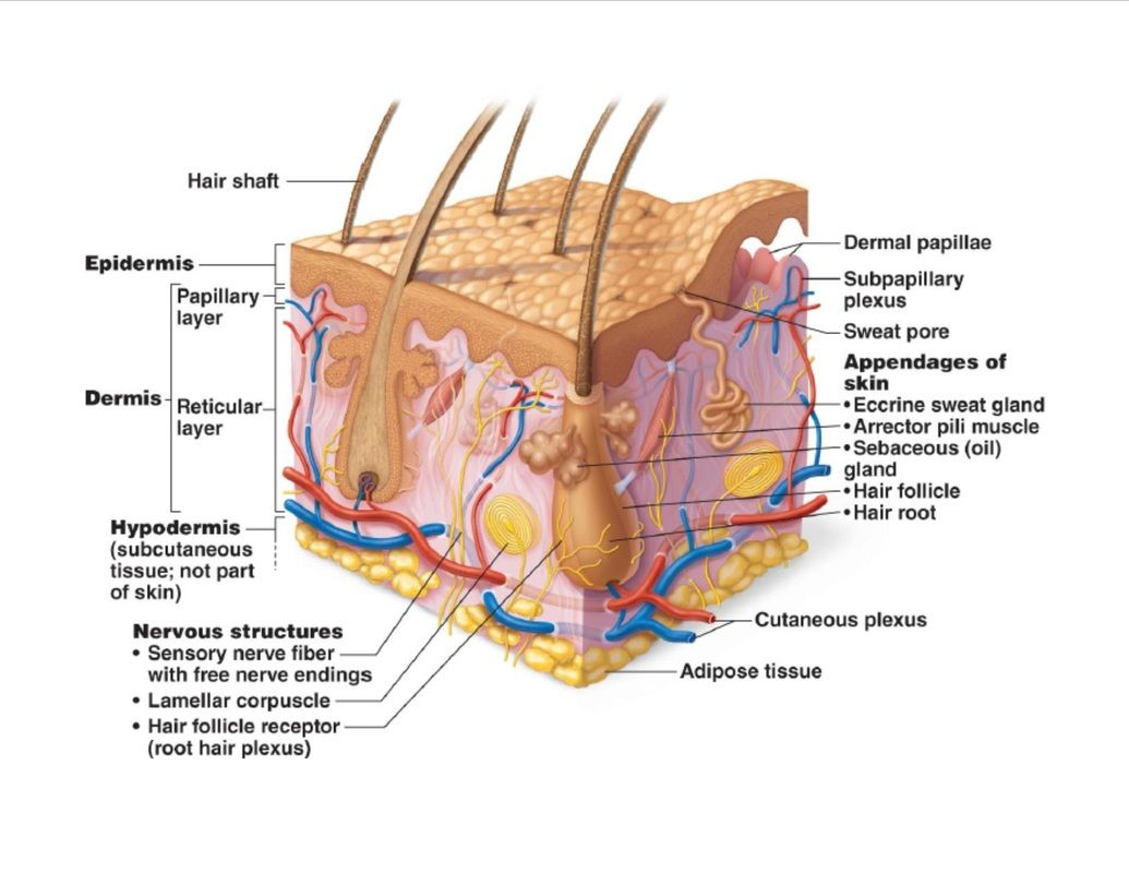 SKIN DIAGRAM | Histology - Skin | Pinterest | Diagram