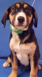 Percival Is An Adoptable Coonhound Dog In Plainfield Il Percival