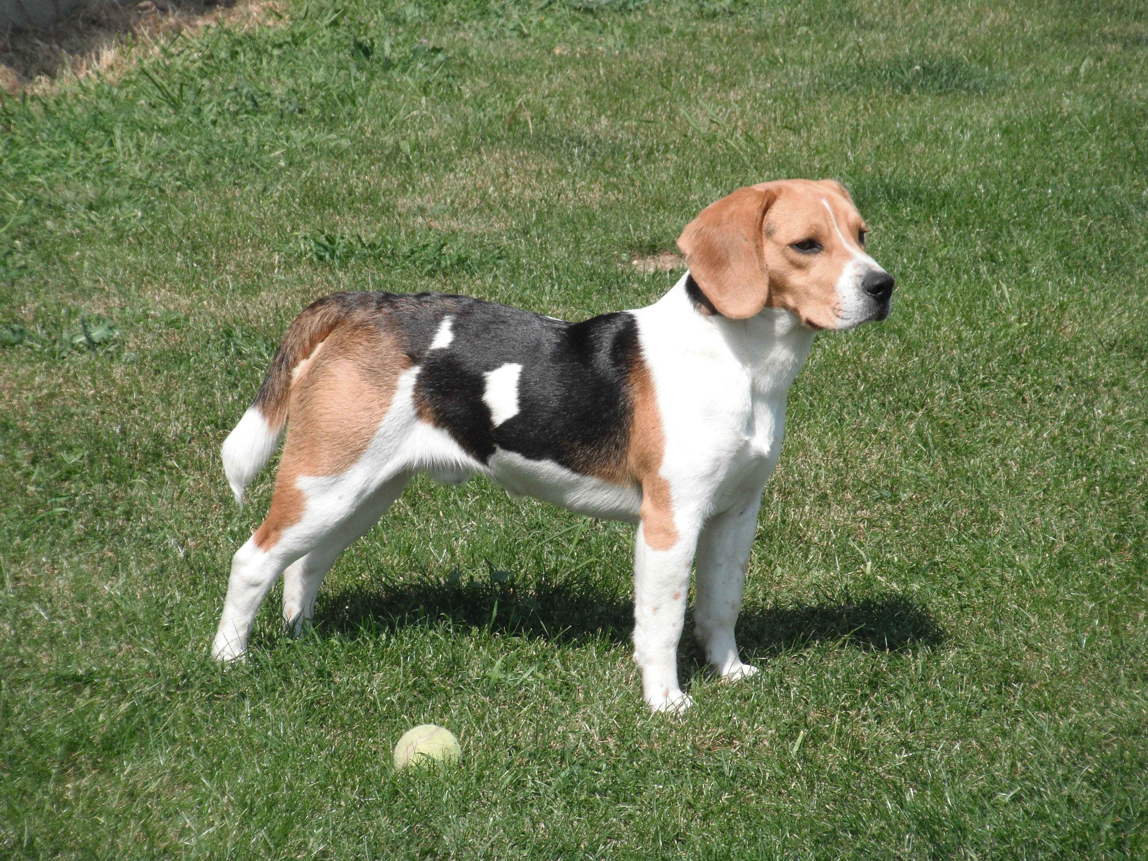 French Tricolour Hound Popular Dog Breeds Dog Breeds Beagle Breeds