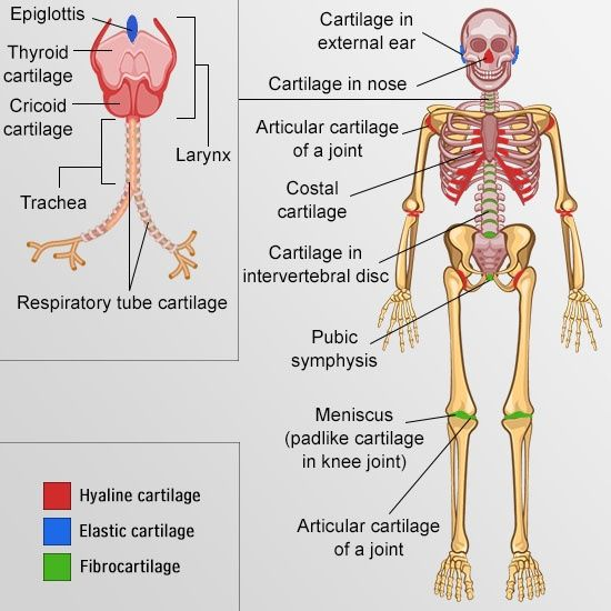 a843b367a05e07e2c97c401276c0542c your guide to understanding the types of cartilage in the human body