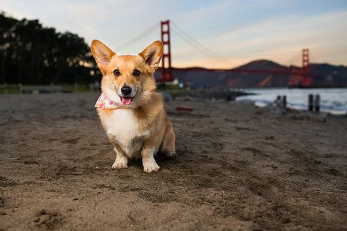 Corgi In San Francisco Near The Golden Gate Bridge Corgi Butts