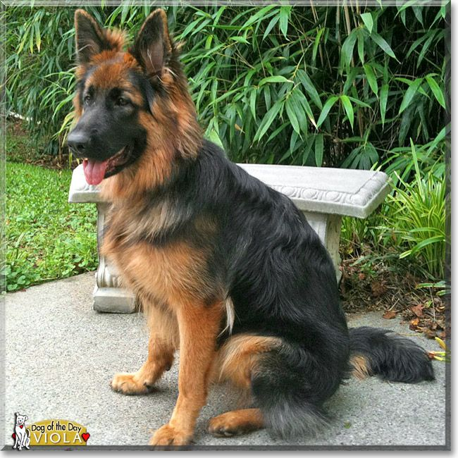 Read Viola's story the German Shepherd Dog from Conyers