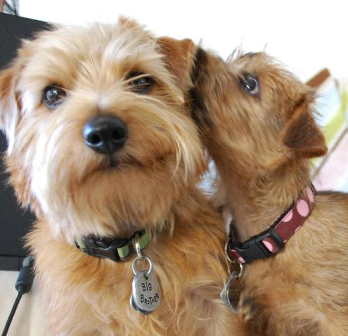 So cute! | Norfolk terrier, Norwich terrier, Cute dogs breeds