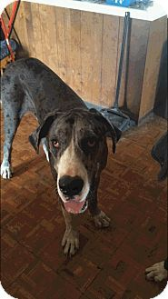 Reno Nv Great Dane Meet Cappy A Dog For Adoption Http Www