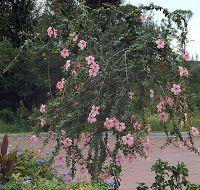 Weeping Hibiscus Anderson Crepe Gardening Outdoors Hibiscus