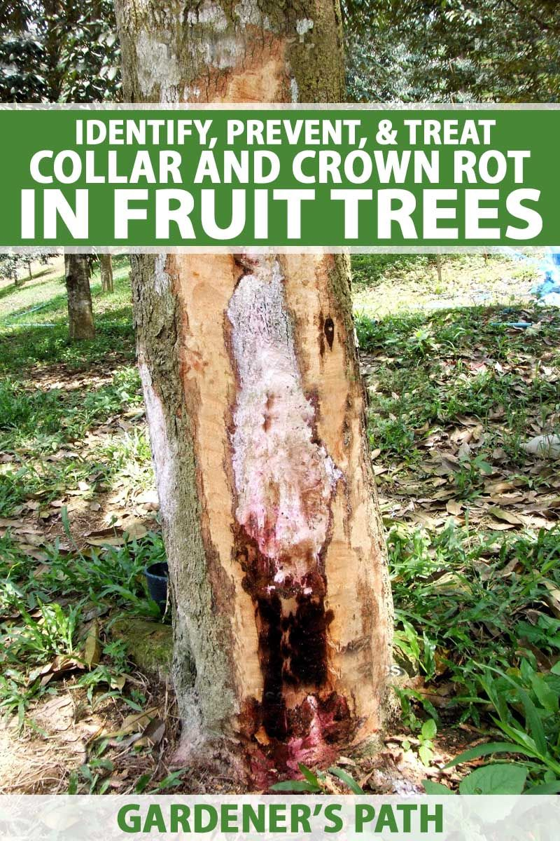 How To Identify Prevent And Treat Collar And Crown Rot In Fruit Trees Fruit Trees Tree Fruit Trees Backyard