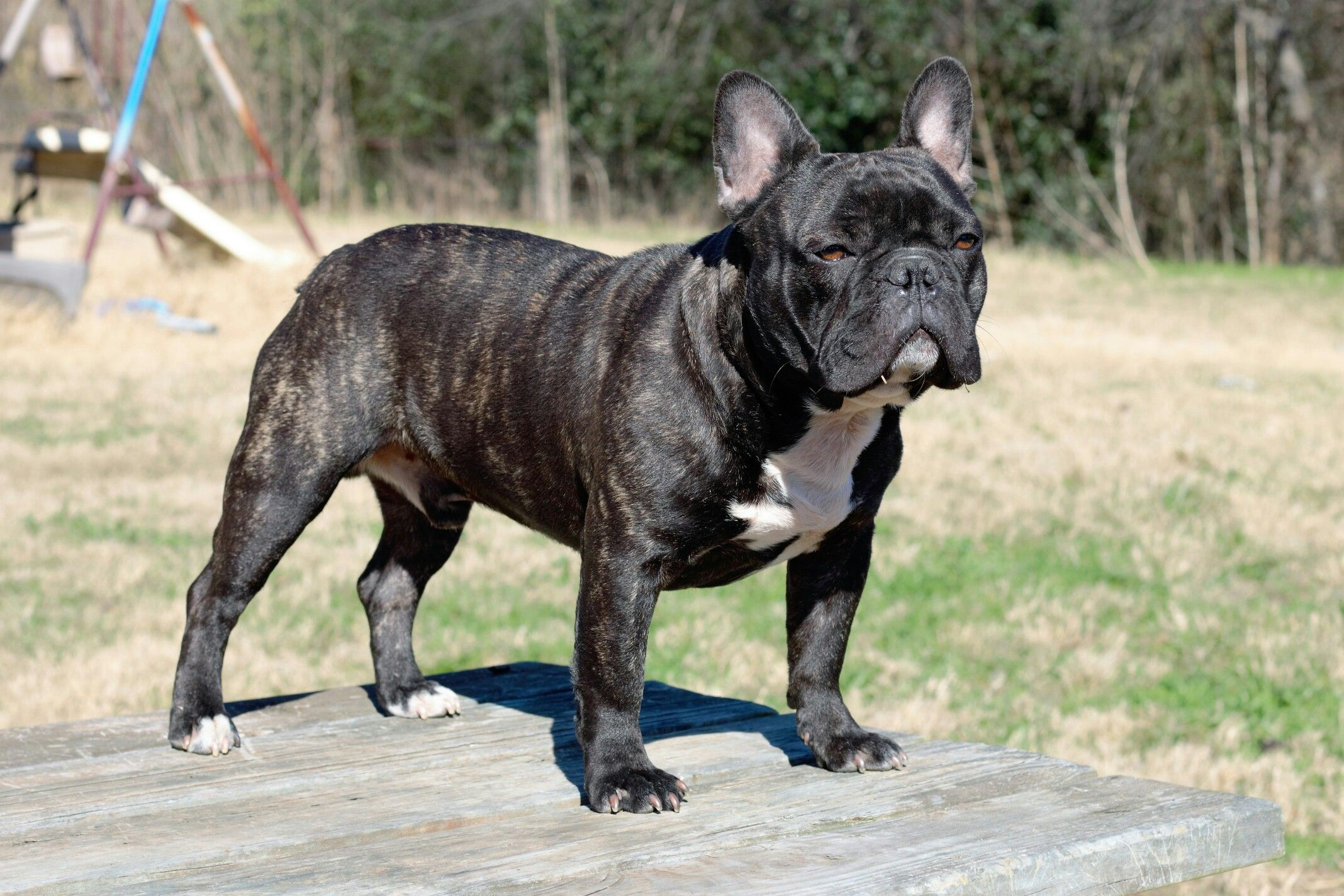 Texas Built Bullies The King Aka Elvis AKC French Bulldog
