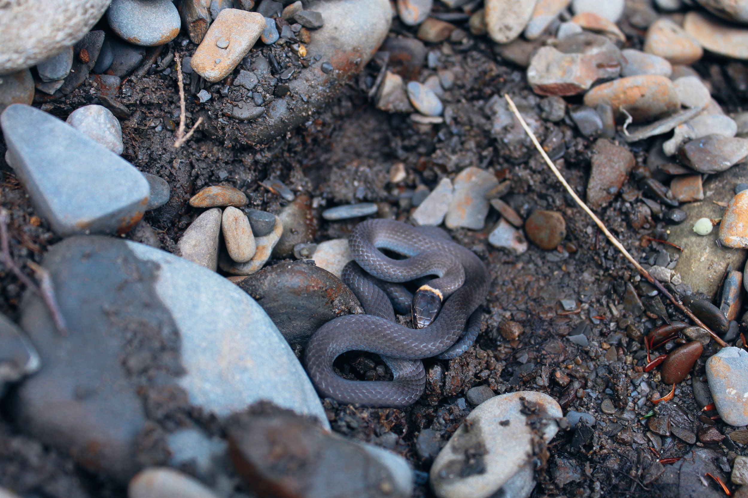 A beautiful little ring-necked snake at Wellnesste Nature Sanctuary