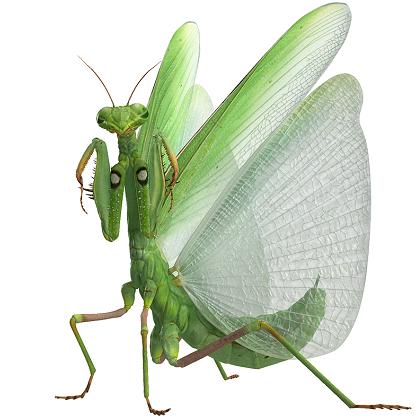 Praying Mantis Louva Deus Animais Inspiracao