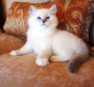 grand champion ragdoll kitten breeder show quality ragdoll