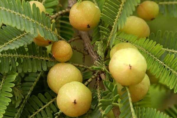 AMALAKI - Remedios naturales