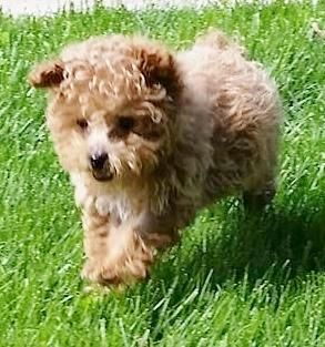 Adopt Scarlett On Dog Adoption Poodle Dog Dogs And Puppies