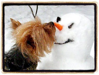 Yorkie giving the snowman kisses <3