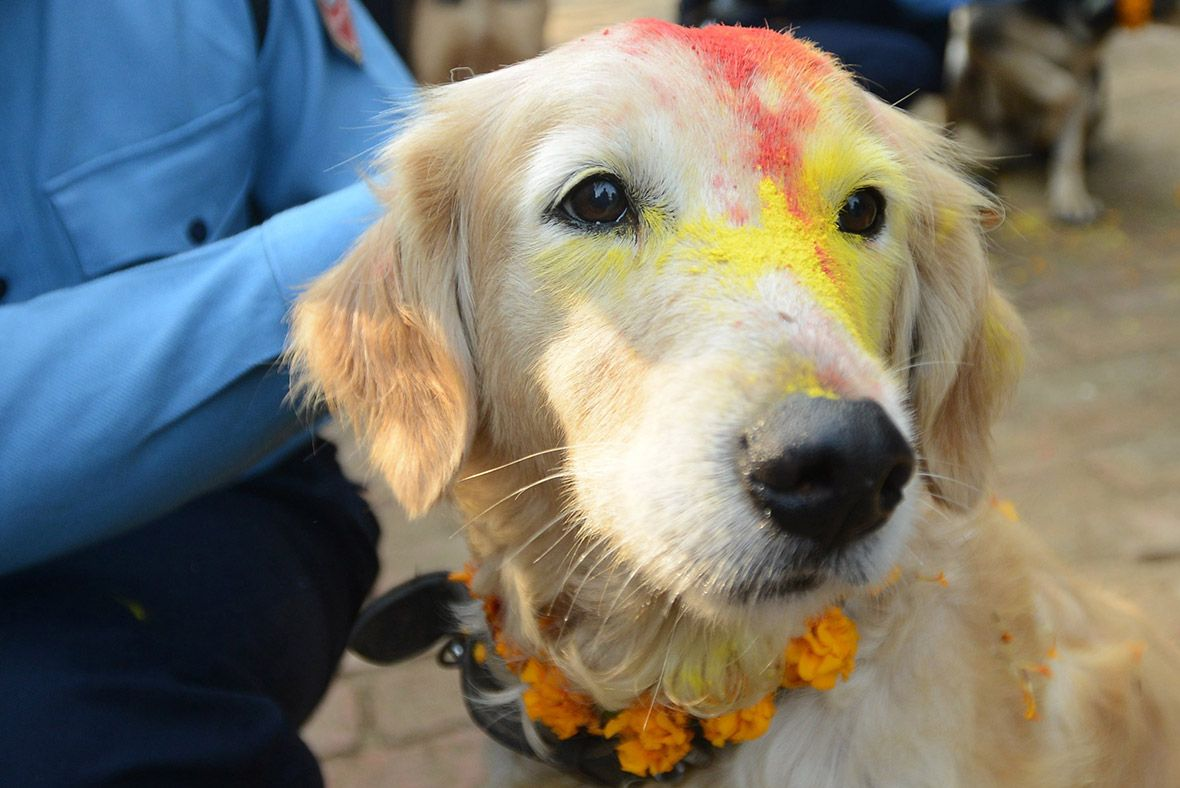 Police Dogs In Nepal Are Blessed To Celebrate Hindu Festival Of