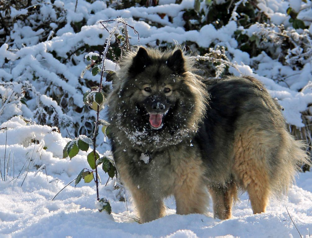 A Eurasier is a medium sized spitz type of dog that is also known as Eurasian. It originated in Germany and was the result of breeding Chow Chow, Samoyed and Wolfspitz.
