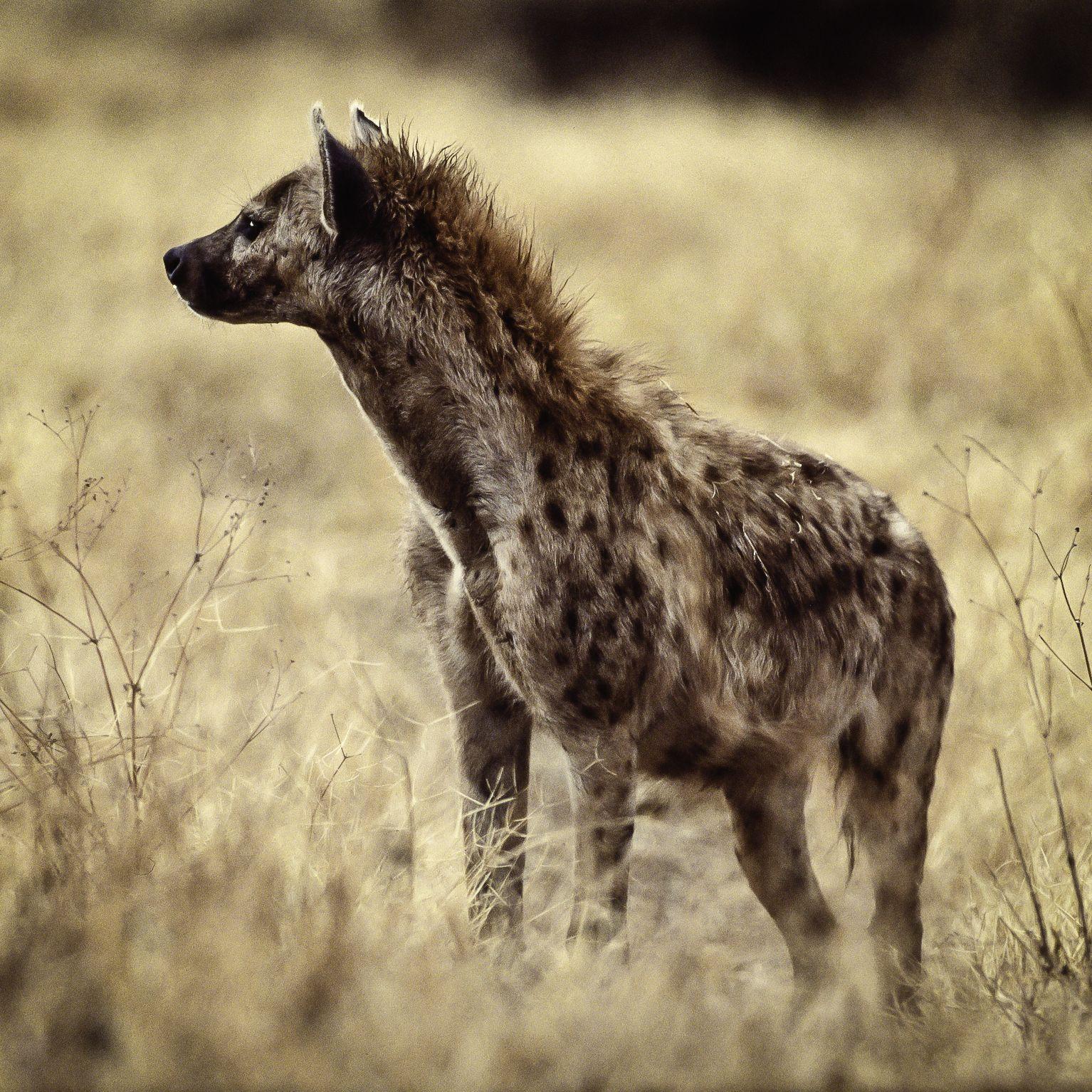 Hyena.jpg (1534×1534) Hyena, Animals, Mammals