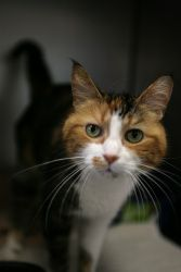 Calley Is An Adoptable Calico Cat In Easton Pa Calley Is A Cute Cat That Was Abandoned By Her Owners In Our Parking Lot She Is Cat Adoption Cats Calico Cat