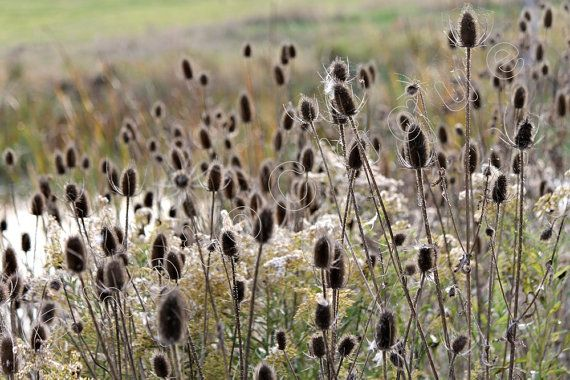 Wild Teasel / Wildflower Seed Pods on Prickly Stems by PhotoClique