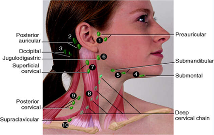 Location Of Lymph Nodes In Neck Hum Hea 8