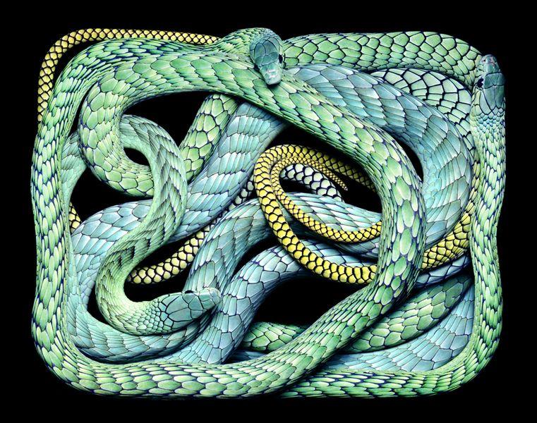 "Dendroaspis viridis from ""Serpens"" by Guido Mocafico"
