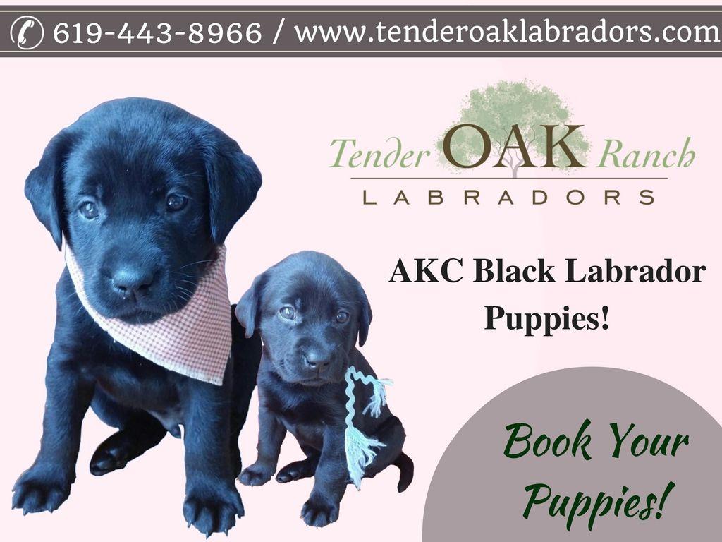 Black Labrador Puppies For Sale Labrador Puppy Labrador Yellow Lab Puppies