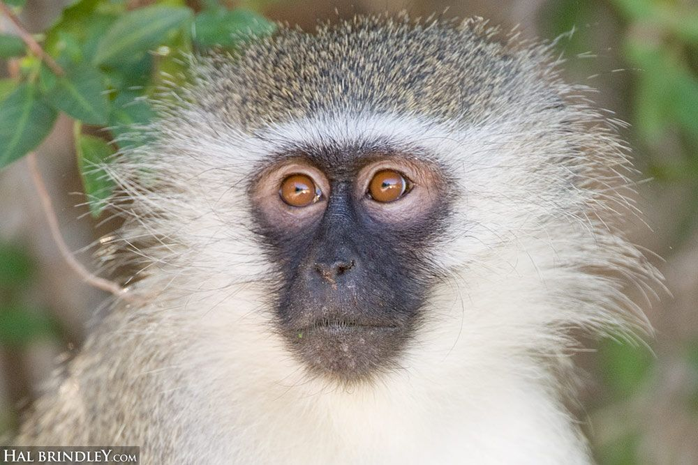 5 Amazing Animals That Start With The Letter V Animals Animals Beautiful Vervet Monkey