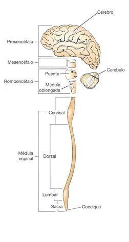 Resultado De Imagen De Sistema Nervioso Central Y Periferico Sistema Nervioso Central Sistema Nervioso Nervioso