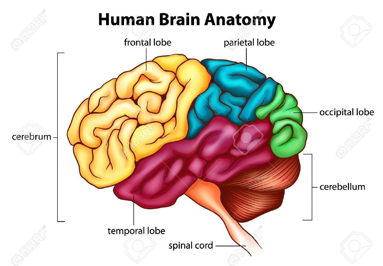 The Human Brain Diagram And Functions Human Anatomy Organs Human
