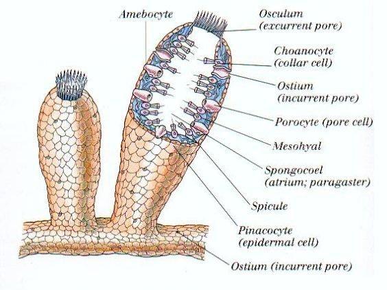 phylum porifera pinacocytes - Google Search | Phylum Porifera ...