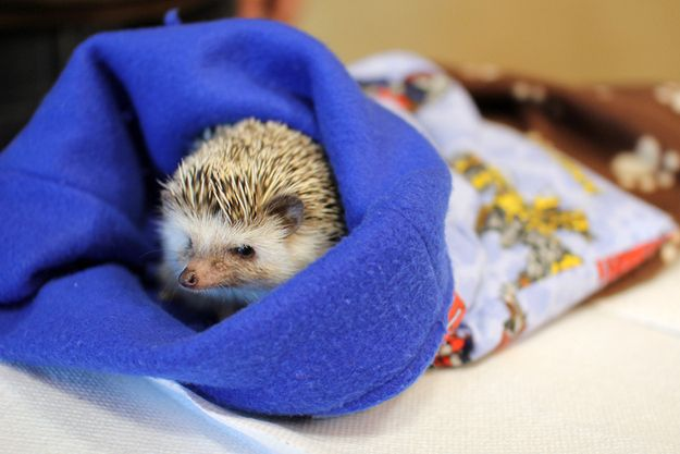Hedgehogs feel safest when they're inside their hedgie bags. | 40 Things We Learned At The Hedgehog Convention
