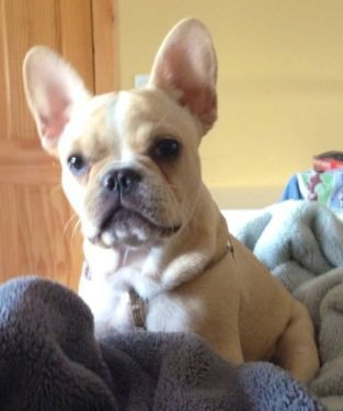 Akc Grandchamp Sire Florida Frenchies Available Puppies 786 374