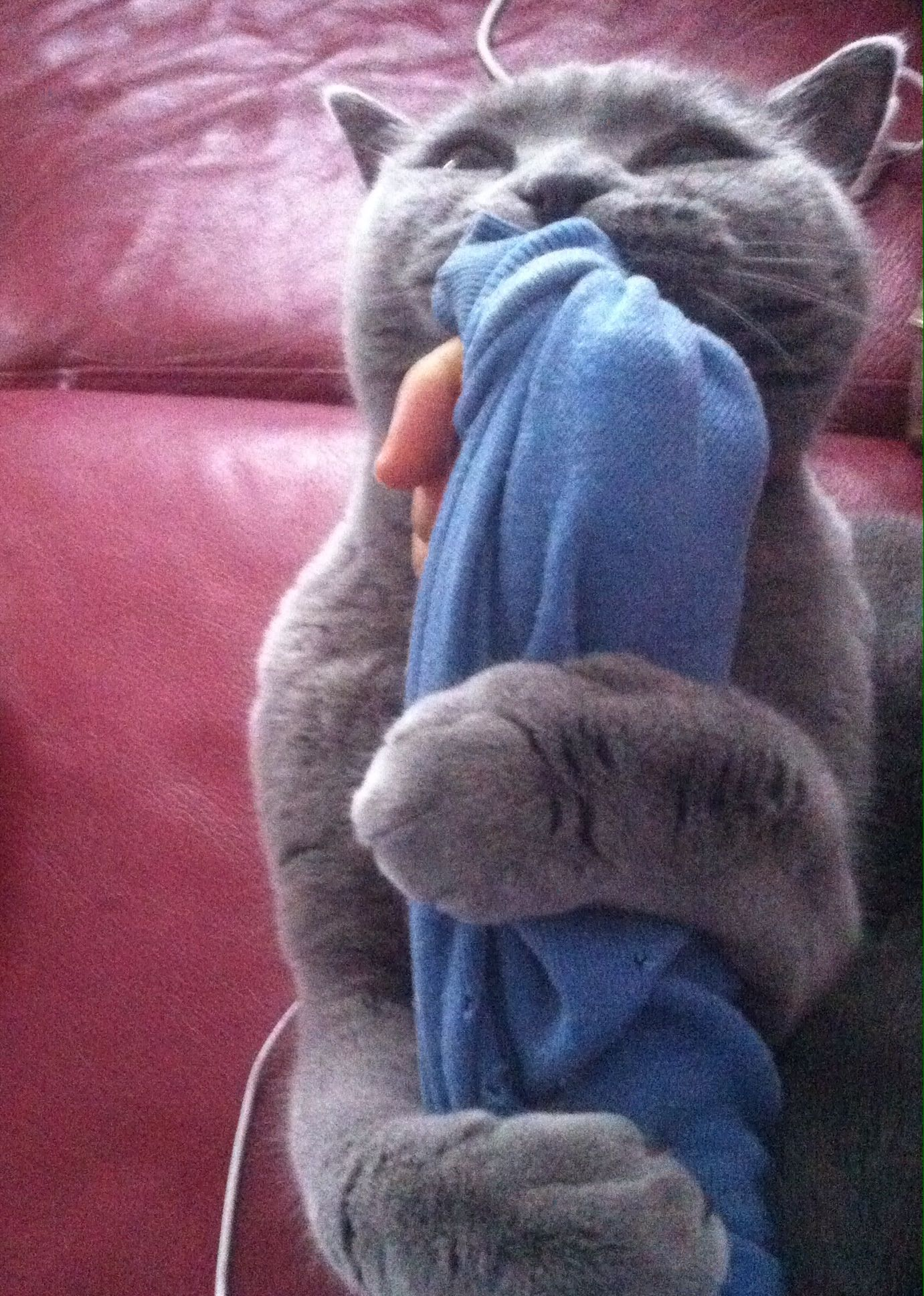 British Blue Cat Or Koala British Blue Cat Blue Cats Koala