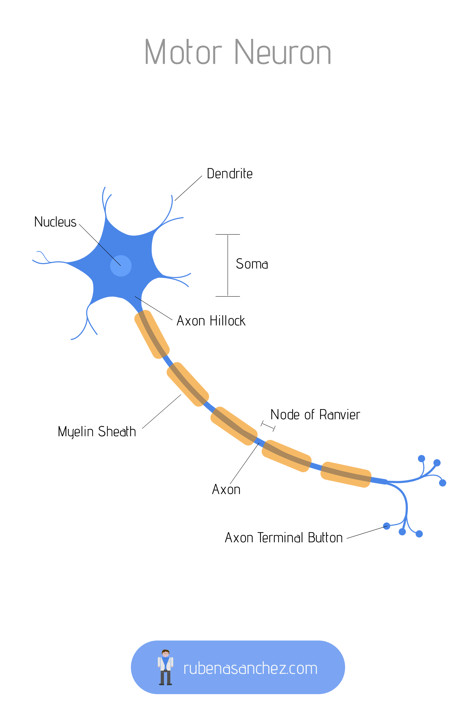 Illustration Of A Motor Neuron Including Its Major Anatomical